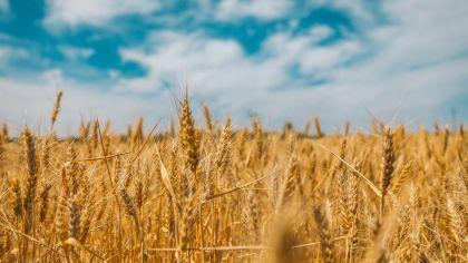 Weizenfeld - eurolanguage Übersetzungen für die Agrarwirtschaft